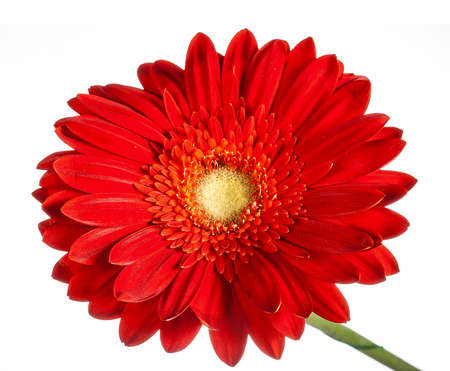 beautiful red gerbera flower isolated on white background