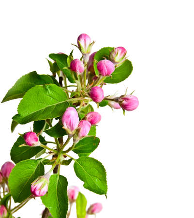 a sprig: Blooming sprig of apple on white background