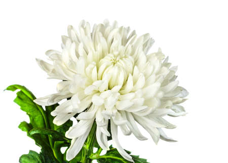 white chrysanthemum  flower isolated on white background