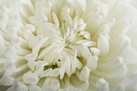 white chrysanthemum  flower  Abstract background; macro; texture  photo