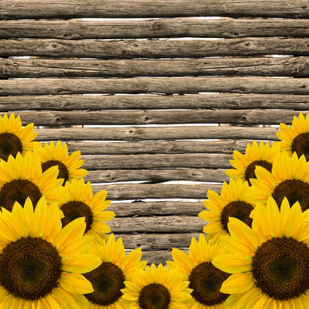 yellow sunflowers on background of old fence   photo