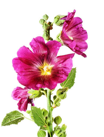Purple mallow isolated on white background