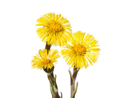 homoeopathic: beautiful yellow coltsfoot flower isolated on white background
