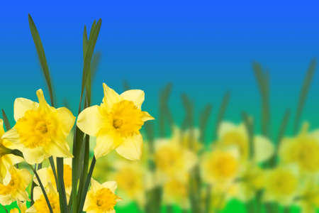 spring narcissus on blue-green background Stock Photo
