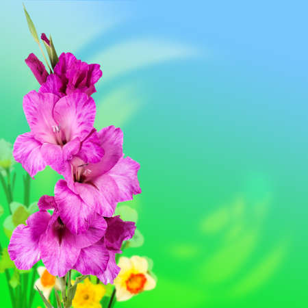 purple gladiolus flowers on blue � green background Stock Photo