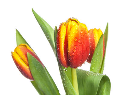 bouquet of red and yellow tulips with drops of dew (water) isolated on white background Stock Photo