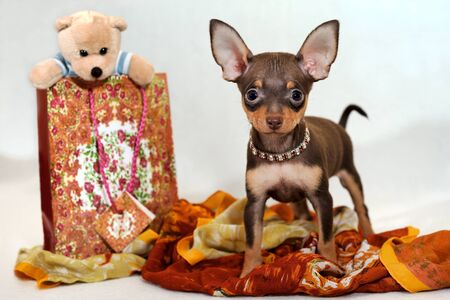 russkiy: Prince of East - Russkiy toy terrier with gifts. Portrait of two-month-old brown and tan short-haired Russkiy toy Russian toy terrier