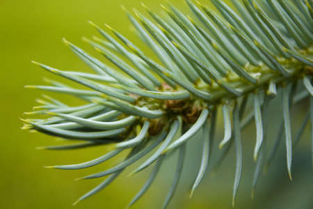 Sprunce Nature Decor Pine Tree Stock Photo