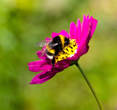 Bumble bee on a flower Stock Photo - 7703369