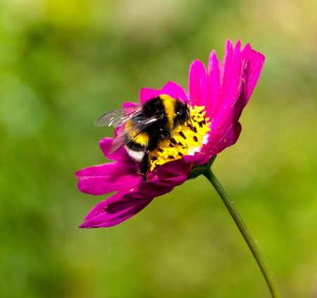 wesp: Bumble bee op een bloem