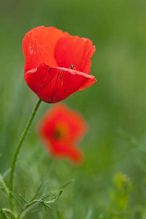 Lonely poppy on a green background Stock Photo