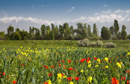 Red poppies and yellow flowers against a background of forests and white mountains