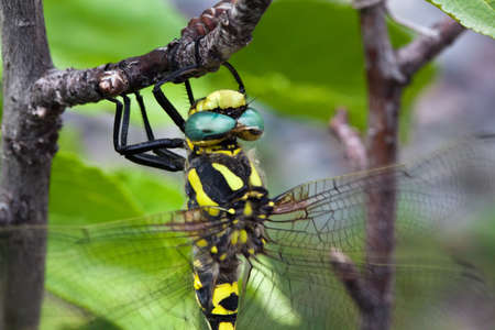 moustached: Large dragonfly closeup of yellow and black coloring Stock Photo