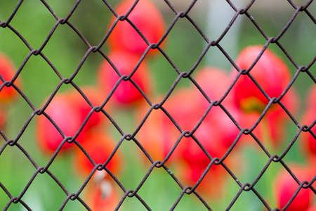 Background tulips Stock Photo - 23084357