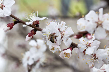 Branches of a white flowering apricots with a sunlight Stock Photo