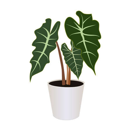 Alocasia in pot isolated on the white background, tropical plants, modern houseplants, vector illustration Иллюстрация