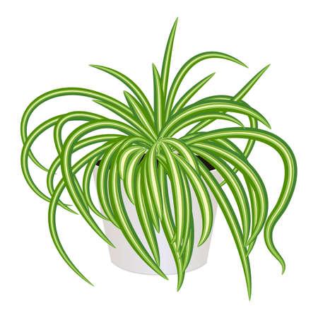 Chlorophytum in pot isolated on the white background, modern houseplants, vector illustration