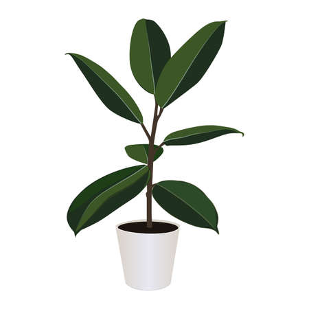 Ficus elastica in pot isolated on the white background, modern houseplants, vector illustration