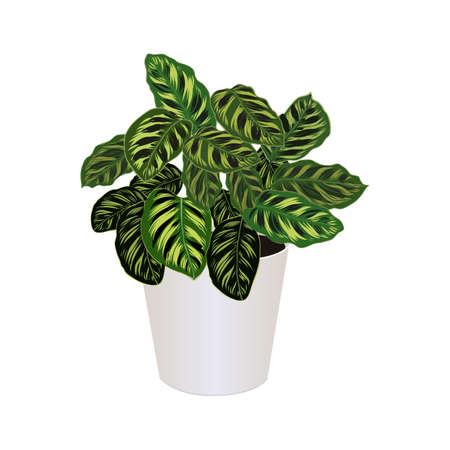 Houseplant of ctenanthe burle-marxii in pot isolated on the white background, fishbone prayer plant, tropical modern houseplants for design house and office interior, vector illustration