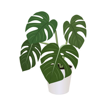 Monstera in pot isolated on the white background, tropical plants, modern houseplants, vector illustration 矢量图像