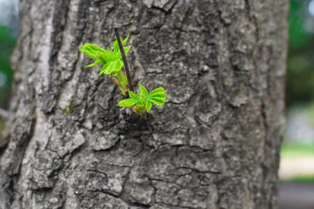 green sprout on the tree. New top leaves sprouting from brown bark of old trunk Stock Photo