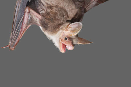bat holding on a wall Stock Photo