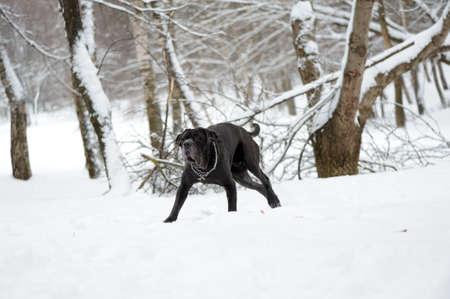 portrait of the dog Neapolitan Mastiff photo