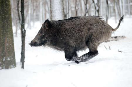 running wild boar  photo