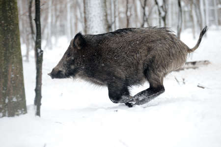 wild  boar: running wild boar