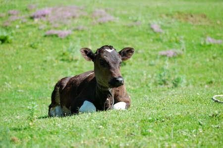 cud: calf