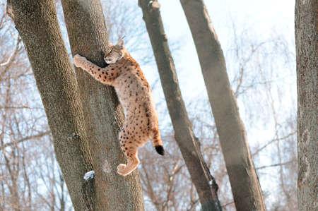 Lynx on the tree