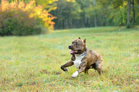 running pitbull terrier dog photo
