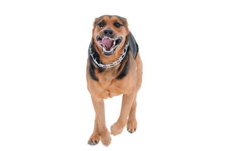 running dog isolated on the white background