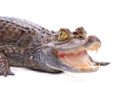 closeup alligator isolated on the white background