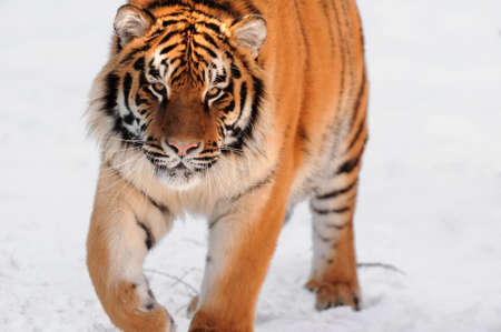 Tiger on the white background photo