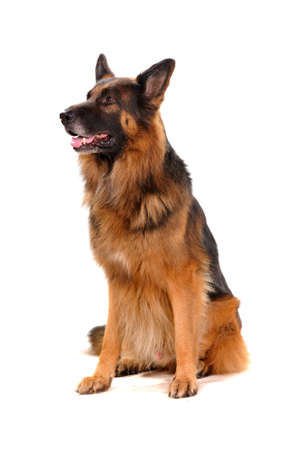 purebred dog: portrait of the dog isolated on white. German Shepherd.