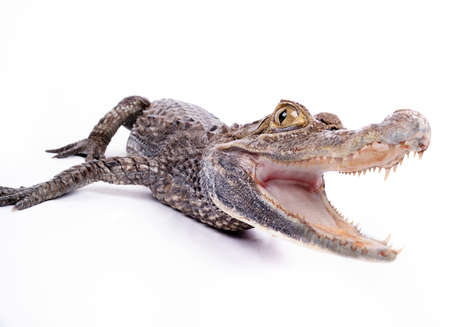 close-up of alligator on the white background Stock Photo
