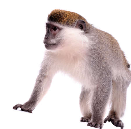 Vervet Monkey on the white background
