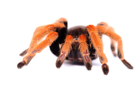 big spider Tarantula