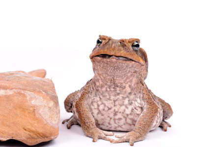 dampness: closeup Cane Toad isolated on white background.