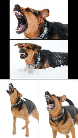 set of images with angry dog with bared teeth   photo