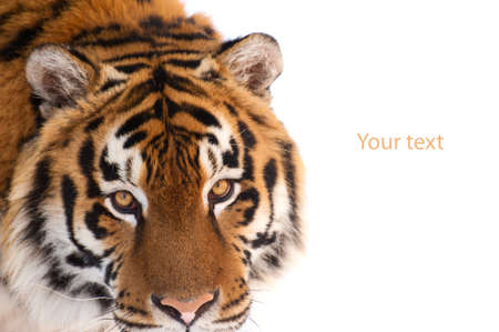 tiger isolated on the white background Banco de Imagens