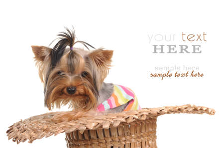 yorky: Lovely dog yorkshire terrier in the hat isolated on the white background
