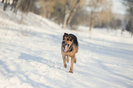dog ruuning on the snow Stock Photo - 16410027