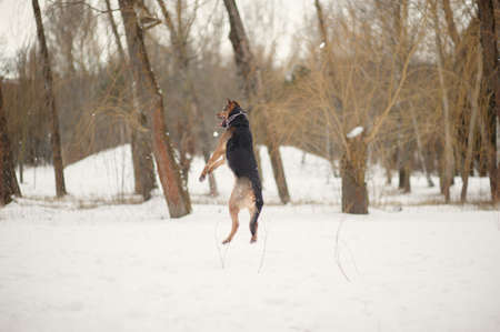 romp: dog jumping on the snow Stock Photo