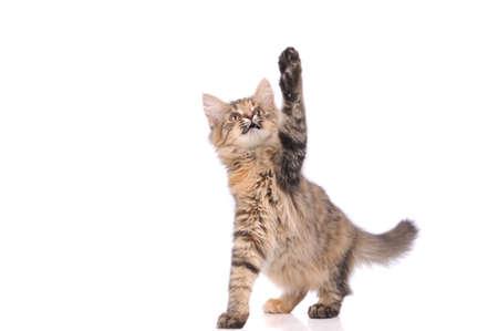 playful kitten cat isolated on white  Stock Photo