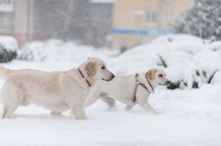 dogs playing on the snow Stock Photo - 16855489
