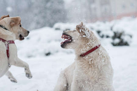 romp: dogs playing on the snow  Stock Photo