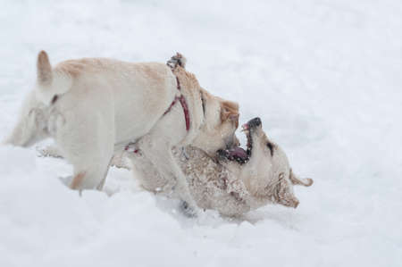 dogs playing on the snow Stock Photo - 16855465