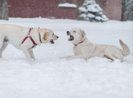 dogs playing on the snow  Stock Photo - 16855484
